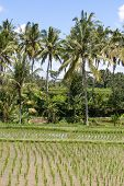 Green Rice Fields  , Indonesia