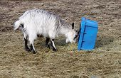 Baby Goat And Blue Box
