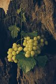 Still Life With Green Grape.