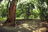 pic of royal botanic gardens  - Sunlit trees in the Royal Botanic Gardens - JPG
