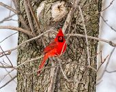 foto of cardinals  - A male Northern Cardinal eating some sunflower seeds in a tree - JPG