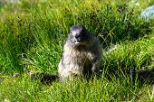 Marmot Standing On Hind Legs In The Grass