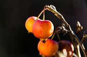 pic of bonsai  - Small red apple of a Bonsai attached to the branch - JPG