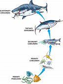 Marine food chain