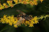 Blowfly (Calliphoridae)