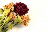 stock photo of condolence  - Dry roses and Flowers in White Background with leaf - JPG