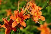 Hemerocallis lily