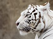 What The White Tiger Thinks?