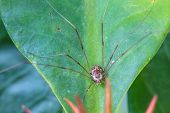 image of daddy  - Harvestman spider or daddy longlegs close up on tree in forest - JPG