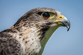image of falcon  - Close up head portrait of a pere saker falcon hybrid against a natural blue sky background - JPG