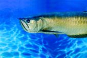 picture of freshwater fish  - Image Arovana tropical freshwater fish in the aquarium - JPG