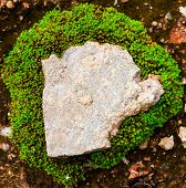 picture of debonair  - The moss for decorate gardent for decorate project - JPG
