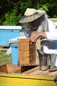 foto of larva  - Experienced senior apiarist cutting out piece of larva honeycomb in apiary in the springtime - JPG