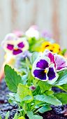 stock photo of flower pot  - Pansy flower in a flower pot Purple and yellow flowers in pots. ** Note: Shallow depth of field - JPG