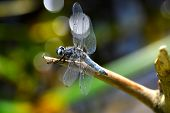 picture of dragonflies  - Dragonfly (Libellula depressa) close-up sitting on a branch on a background bokeh of plants