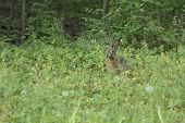 foto of hare  - wild hare sit in the grass at the wood and he is ready to escape - JPG
