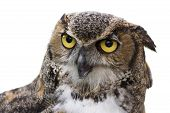 image of white-tiger  - Close up of a Great Horned Owl also known as the Tiger Owl. It