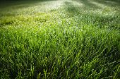 picture of morning sunrise  - Grass with morning dew drops in the early morning during sunrise - JPG