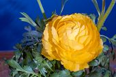 pic of buttercup  - Buttercup flower and bud in the studio on a blue background - JPG