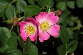 foto of wild-brier  - Flower of a sweet briar rose (Rosa rubiginosa).