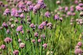 stock photo of chive  - A macro photography of Chives flowers in a field - JPG