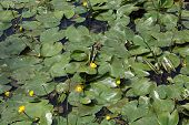 image of water lily  - Yellow Water-lilies (Nuphar lutea) in a river. ** Note: Shallow depth of field - JPG