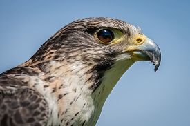 image of falcons  - Close up head portrait of a pere saker falcon hybrid against a natural blue sky background - JPG