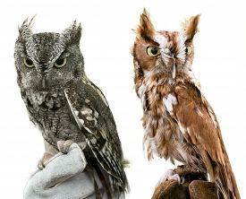 image of screech-owl  - Portrait of two Eastern Screech Owl isolated and placed on a white background. Found wherever trees are and they