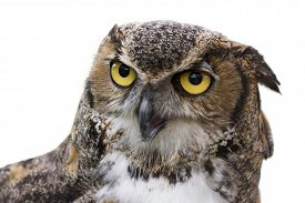 pic of owl eyes  - Close up of a Great Horned Owl also known as the Tiger Owl. It