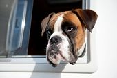 picture of car-window  - Pure breed Bull dog is looking out of the car window - JPG