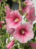 Garden Hollyhock Lcea Althea Rosea