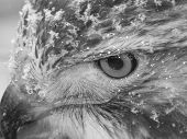 Monochrome Close-up of Red Tail Hawk in the snow