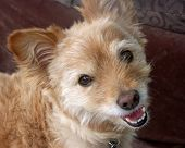 picture of gizmo  - Happy Terrier named Gizmo ready to play - JPG