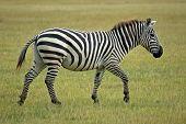 Single African Zebra