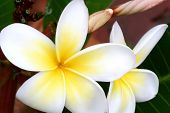 Glorious yellow and gold frangipani (plumeria).