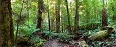 Panorama of a path through an Australian temperate rainforest, with lush treeferns, moss-covered logs, and myrtle beech trees.