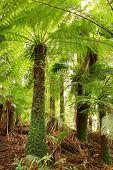Treeferns in a cool temperate rainforest in Victoria, Australia.