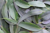 Gum leaves form a full-frame natural background.  The subtle grey green tones of the Australian bush