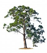 pic of eucalyptus trees  - A single gum tree - JPG