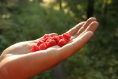 Raspberry In The Hand