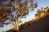 Gum trees in sunset light, in a dry river bed in outback Australia.