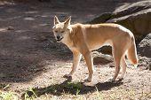 A dingo snarling at the camera.  Australian wild dog.