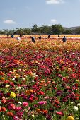 Carlsbad Blumenfeldern