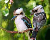 pic of blue winged kookaburra  - Two colorful kookaburra birds sitting on a branch - JPG