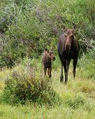 pic of matron  - **Note slight blurriness, best at small sizes. A large female moose (Alces alces) keeps close watch over her baby moose in shrubbery along a river in Colorado
