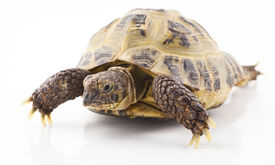 picture of russian tortoise  - Russian tortoise on a shite background Focus is shallow - JPG