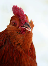 stock photo of banty  - Banty rooster closeup red rooster chicken bird - JPG
