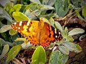 Painted Lady Butterfly/Vanessa Cardui