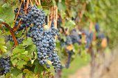 Okanagan Grapes Ready for Harvest