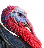Portrait of a turkey a over white background
